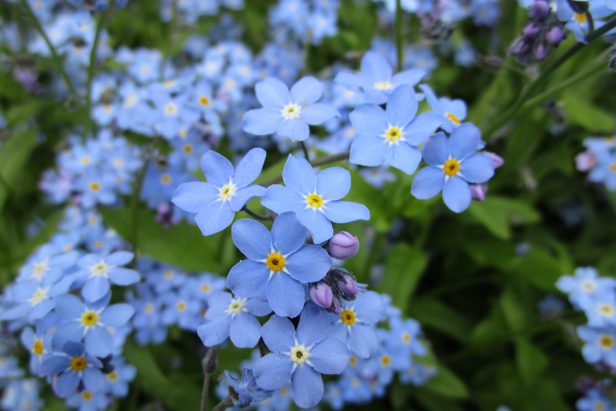 The Forget-Me-Nots of June